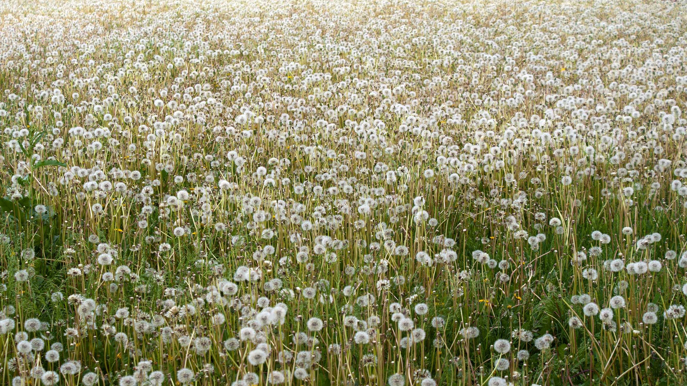 Lawn Weeds Winter Summer Perennial Weeds Benefits From Weeds