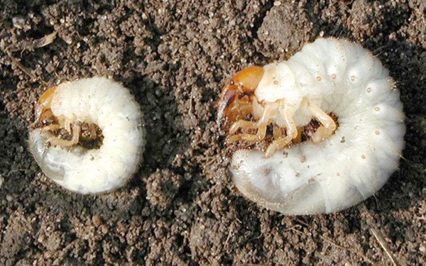 White Grubs in Soil