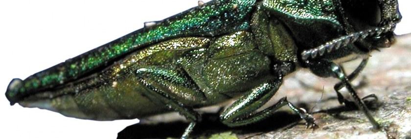 Emerald Ash Borer EAB